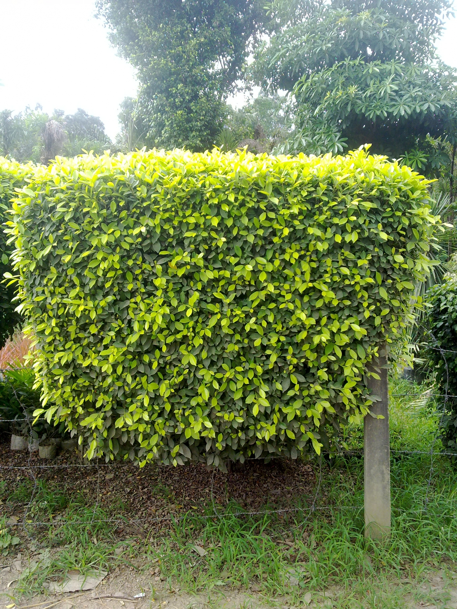 Westland Ficus Lawns And Landscapes