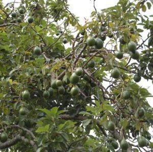 Fruit & Ornamentals