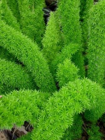 Bottle Brush Fern Lawns And Landscapes
