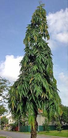 Ashoka Tree Lawns And Landscapes