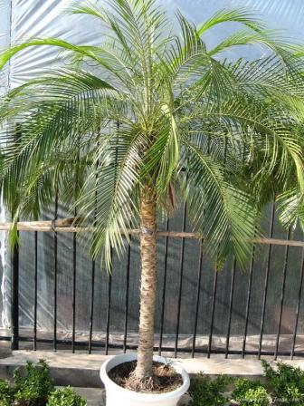 Pygmy Date Palm Lawns And Landscapes