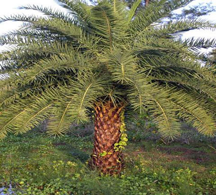 silver-date-palm